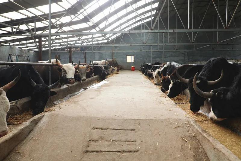 """合作市""""六大产业""""系列报道之二:稳步推进牛产业 打造高质量发展新引擎"""